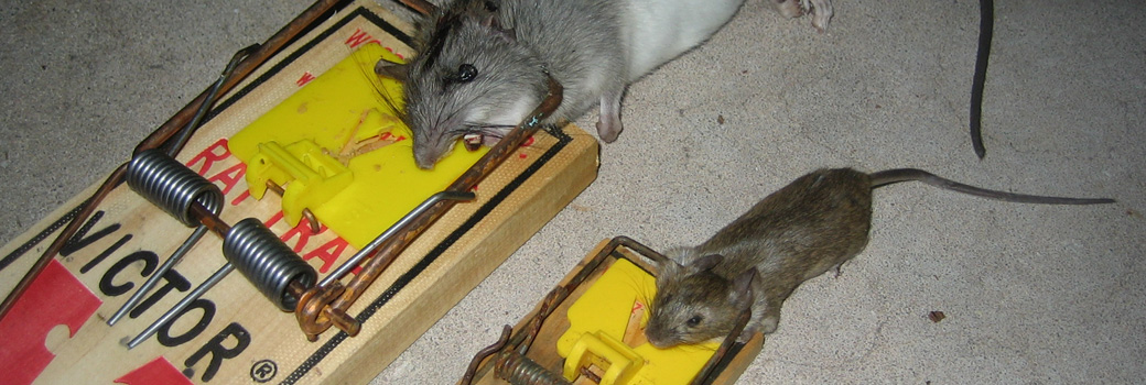 How To Kill A House Mouse
